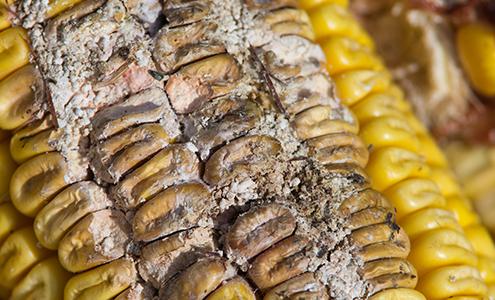 Micotoxinas en los cereales y trigos